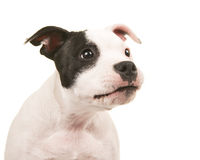 Cute and funny black and white pit bull terrier puppy dog portrait looking to the right Stock Photos