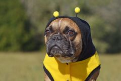 Cute and funny brown French Bulldog dog  dressed up as a bee wearing a black and yellow Halloween costume