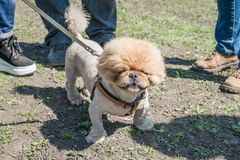 Cute and funny brown grooming pekingese dog in green grass backg stock photos