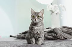 Cute funny cat on bed. At home stock photography