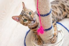 Cute funny cat is playing with a scratcher royalty free stock photo