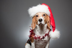 Cute funny christmas dog. Stock Photos