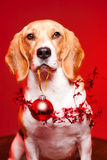 Cute funny christmas dog. Royalty Free Stock Images