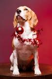 Cute funny christmas dog. Portrait of a cute funny beagle christmas dog Royalty Free Stock Photos