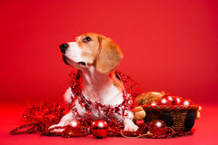 Cute funny christmas dog. Portrait of a cute funny beagle christmas dog Royalty Free Stock Images
