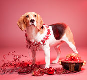 Cute funny christmas dog. Portrait of a cute funny beagle christmas dog Royalty Free Stock Photo