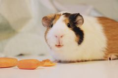 Cute and funny guinea pig is eating a carrot. So cute and funny color guinea pig is eating a carrot Stock Photo