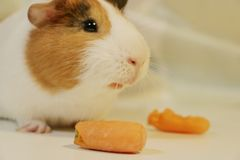 Cute and funny guinea pig is eating a carrot. So cute and funny color guinea pig is eating a carrot Royalty Free Stock Image