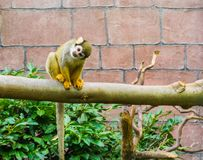 Cute and funny common squirrel monkey sitting on a branch and looking towards the camera adorable animal portrait stock images