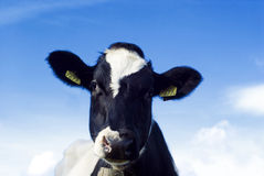 Cute and funny...a cow! Stock Photos