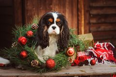 Cute funny dog celebrating Christmas and New Year with decorations and gifts. Chinese year of the dog. Cute dog celebrating Christmas and New Year with royalty free stock photography