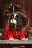 Cute funny dog celebrating Christmas and New Year with decorations and gifts. Chinese year of the dog. Stock Photography