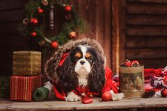 Cute funny dog celebrating Christmas and New Year with decorations and gifts. Chinese year of the dog Royalty Free Stock Photo