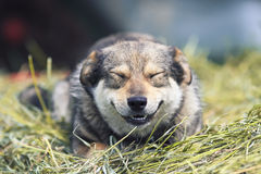 Cute funny dog lies on a pile of dry grass Royalty Free Stock Image