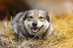 Cute funny dog lies on a pile of dry grass Royalty Free Stock Photo
