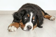 Cute funny dog lying on floor stock images