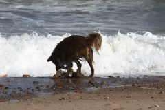 Dog playing on the beach royalty free stock photography
