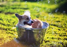 cute funny dog standing in a metal basin, is cooled, washed on the street in the summer on a hot Sunny day with shiny soap stock image