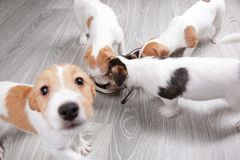 Cute funny dogs eating dry. Food at home stock photography