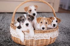 Cute funny dogs in wicker basket. At home stock images