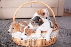 Cute funny dogs in wicker basket. At home stock photos