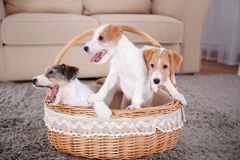 Cute funny dogs in wicker basket. At home royalty free stock image