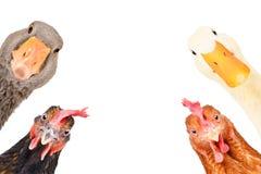 Free Cute Funny Farm Birds Stock Photo - 175146850