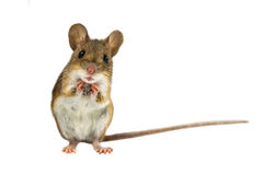 Cute Funny Field Mouse on white background. Cute Funny Wood mouse Apodemus sylvaticus with curious cute brown eyes looking in the camera on white background Royalty Free Stock Images