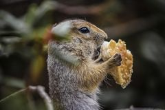 Cute funny gophers are eating,kamchatka peninsula,,Russia. View Cute funny gophers are eating,kamchatka peninsula,,Russia royalty free stock images