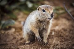 Cute funny gophers are eating,kamchatka peninsula,,Russia. View Cute funny gophers are eating,kamchatka peninsula,,Russia royalty free stock photography