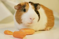 Cute and funny guinea pig is eating a carrot. So cute and funny color guinea pig is eating a carrot Stock Photos