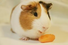 Cute and funny guinea pig is eating a carrot. So cute and funny color guinea pig is eating a carrot Stock Image