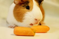Cute and funny guinea pig is eating a carrot. So cute and funny color guinea pig is eating a carrot Stock Images