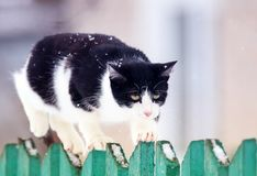 Cute funny home cat walks on a wooden fence in a village in the garden during a snowfall and looks ahead. Funny home cat walks on a wooden fence in a village in stock images