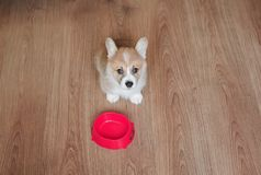 cute funny home puppy standing on the floor next to an empty bowl and asks for food stock photo