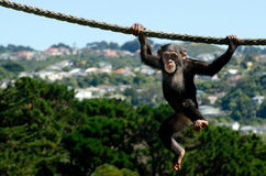Chimpanzee. Cute and funny infant chimpanzee hangs on a rope stock photography
