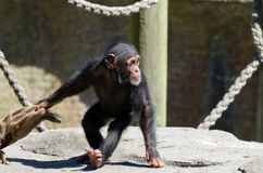 Chimpanzee. Cute and funny infant chimpanzee plays stock photos