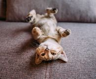 Cute kitten lying on its back on sofa. royalty free stock photos