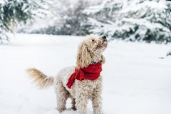 Cute and funny little dog with red scarf playing and jumping in stock photography