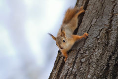 Cute funny little squirrel fun crawling on a tree in the Park Stock Photography