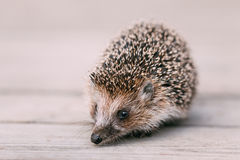 Cute Funny Lovely Hedgehog Standing On Wooden Floor Royalty Free Stock Photo