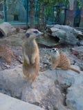 Cute meerkats in zoo. stock photos