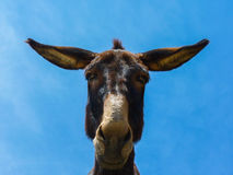 Cute funny mule Stock Images