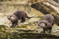Cute funny otters at zoo in Berlin Royalty Free Stock Photos