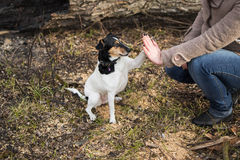 Cute funny parson russel terrier dog touches hand of woman Stock Photography
