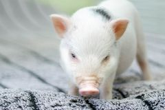 Cute funny pig standing on a blanket stock photo