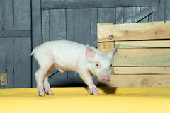Cute funny pig. Cute funny young small pink piglet pet standing near box indoor in studio on wooden backgroumd, horizontal picture stock photo