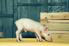 Cute funny pig royalty free stock photos