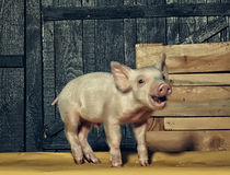 Cute funny pig royalty free stock image