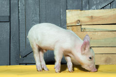 Cute funny pig. Cute funny young small pink piglet pet standing near box indoor in studio on wooden backgroumd, horizontal picture royalty free stock photo